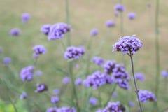 紫色马鞭草属植物花花束  免版税库存照片