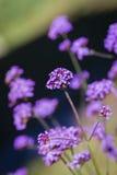 紫色马鞭草属植物花花束  免版税图库摄影