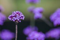 紫色马鞭草属植物花花束  库存图片