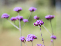 紫色马鞭草属植物花花束  图库摄影