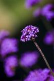 紫色马鞭草属植物花花束  库存照片