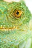 绿色鬣鳞蜥一 免版税库存图片