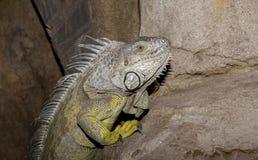 绿色鬣鳞蜥上升 免版税库存图片