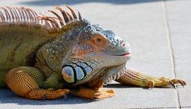 绿色鬣鳞蜥在南佛罗里达 库存照片