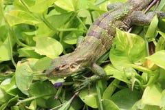 绿色鬣鳞蜥在哥斯达黎加 免版税库存照片