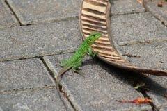 绿色鬣鳞蜥在哥斯达黎加 免版税库存图片