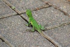 绿色鬣鳞蜥在哥斯达黎加 图库摄影