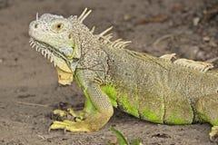绿色鬣鳞蜥在墨西哥 免版税库存照片