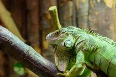 绿色鬣鳞蜥爬行动物画象 免版税图库摄影