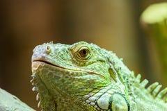绿色鬣鳞蜥爬行动物画象 库存照片