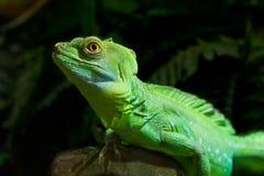 绿色鬣鳞蜥爬行动物 库存图片