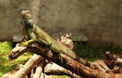 绿色鬣鳞蜥神色 免版税库存照片