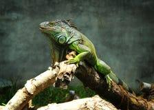 绿色鬣鳞蜥神色 免版税库存图片
