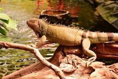 绿色鬣鳞蜥纵向 库存照片