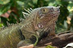 绿色鬣鳞蜥纵向 免版税图库摄影