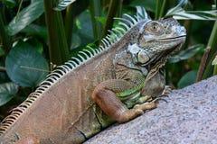 绿色鬣鳞蜥纵向 图库摄影