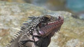 绿色鬣鳞蜥美国人鬣鳞蜥 免版税库存图片