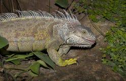 绿色鬣鳞蜥舌头 图库摄影