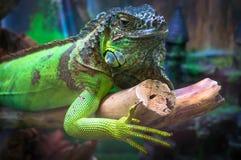 绿色鬣鳞蜥野生生活动物 库存图片