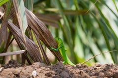 绿色鬣鳞蜥青少年 库存照片