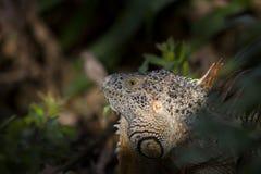 绿色鬣鳞蜥面孔 库存照片