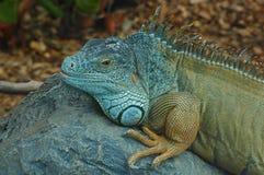 绿色鬣鳞蜥,基于一块大石头的一只异乎寻常的爬行动物在一个人工地被创造的栖所 库存照片