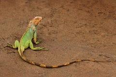 绿色鬣鳞蜥,鬣鳞蜥鬣鳞蜥,橙色和绿色大蜥蜴画象在深绿森林动物的在自然热带河h 免版税库存照片