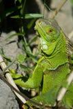绿色鬣鳞蜥 免版税库存图片