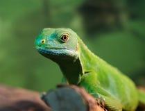 绿色鬣鳞蜥 库存照片
