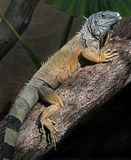 绿色鬣鳞蜥 免版税库存照片