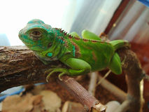 绿色鬣鳞蜥 免版税图库摄影