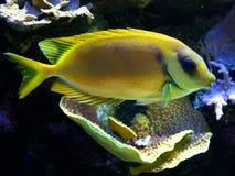 黄色鱼 库存照片