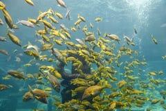 黄色鱼 库存图片