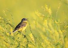 黄色鸟令科之鸟坐一棵开花的夏天草甸三叶草a 免版税库存照片
