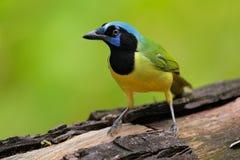 黄色鸟绿色杰伊, Cyanocorax yncas,狂放的自然,伯利兹 图库摄影