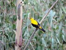黄色鸟 免版税库存图片