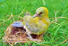 绿色鸠刚孵出的雏  免版税库存图片