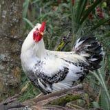 黑色鸡白色 免版税库存图片