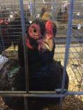 黑色鸡 免版税图库摄影