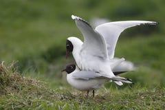 黑色鸥朝向larus ridibundus 库存图片