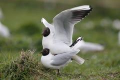 黑色鸥朝向larus ridibundus 图库摄影