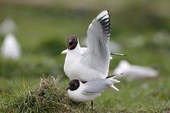 黑色鸥朝向larus ridibundus 库存照片