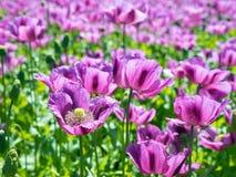 紫色鸦片花,细节 免版税库存照片