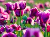 紫色鸦片头 图库摄影