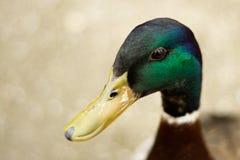 绿色鸭子头 免版税库存照片