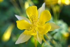 黄色鸽子似花 库存照片