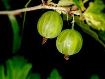 绿色鹅莓 免版税图库摄影