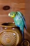 绿色鹦哥(国内budgie)在花瓶 图库摄影