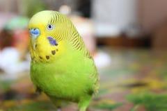 绿色鹦哥 免版税库存图片