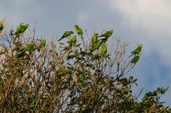 绿色鹦鹉群  免版税库存照片
